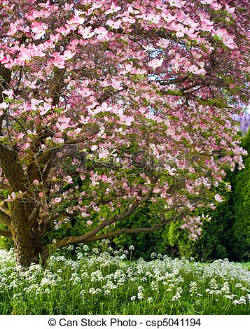 Stock Photo of Pink blooms adorn a Dogwood tree in spring.