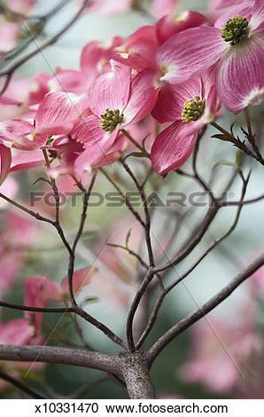 Stock Photography of Bright Pink Flowers on a Dogwood Tree.