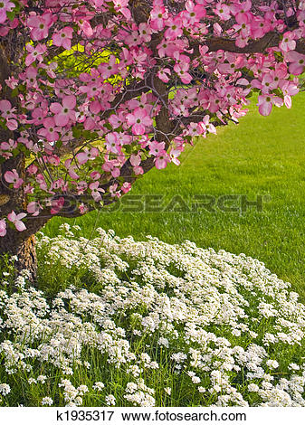 Picture of Dogwood in Spring k1935317.