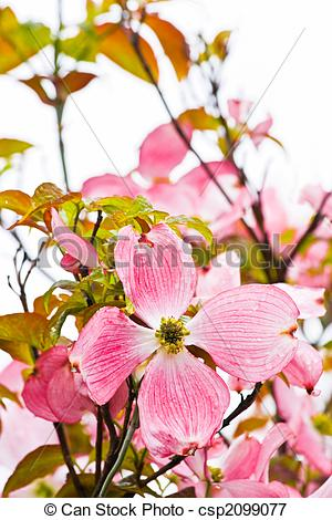Picture of Japanese dogwood flowering in spring.