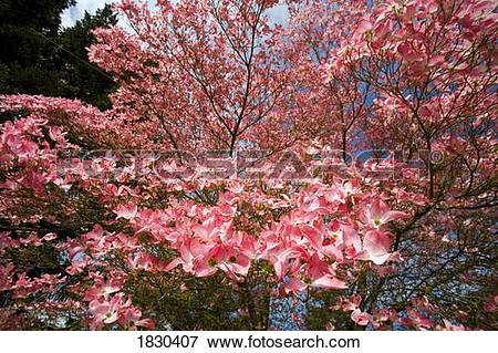 Picture of Spring Dogwood tree 1830407.
