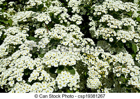 Stock Image of the Bush white flowers in the spring csp19381267.