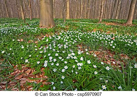 Stock Image of wood anemone spring forest.