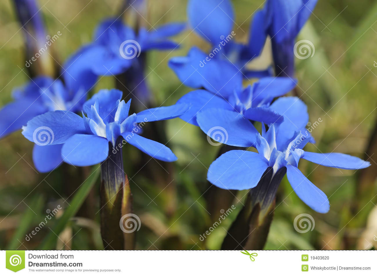 Spring Gentian Stock Photo.