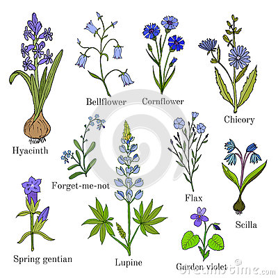 Gentian Stock Illustrations.