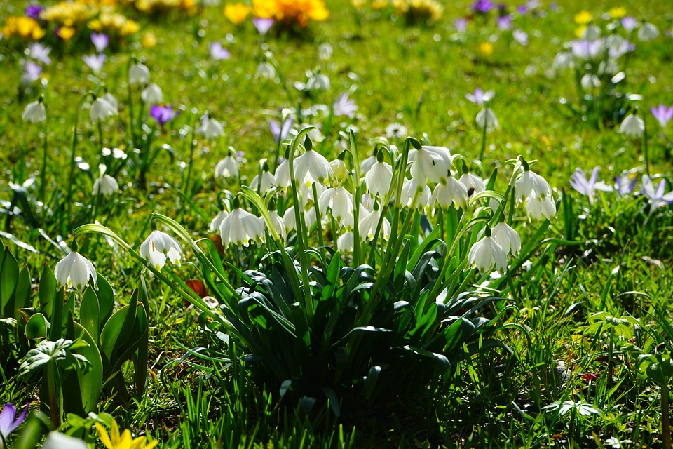 Free photo: Spring Knotenblume, Snowflake.