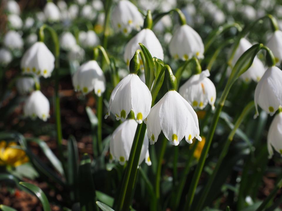 Free photo Flowers Spring Close Snowflake Calyx Detail Macro.