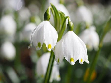 Spring, Knotenblume.
