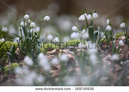 Leucojum vernum snowflake Stock Photos, Images, & Pictures.