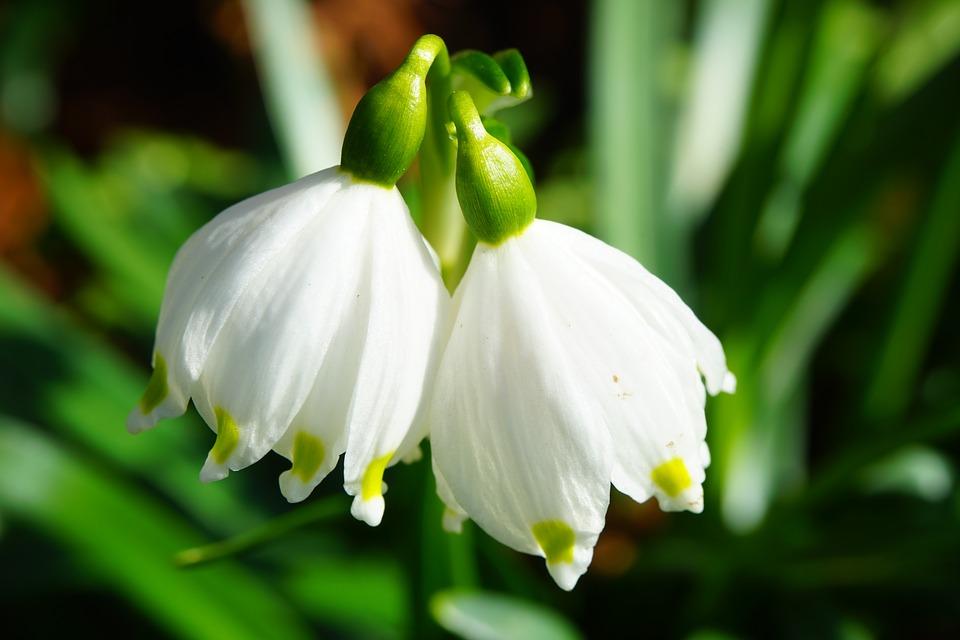 Free photo: Snowflake, Spring Knotenblume.