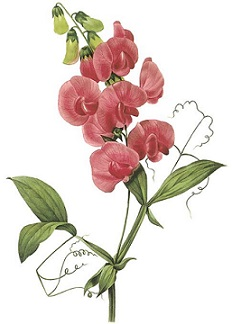 Sweet Pea Clipart Clipground