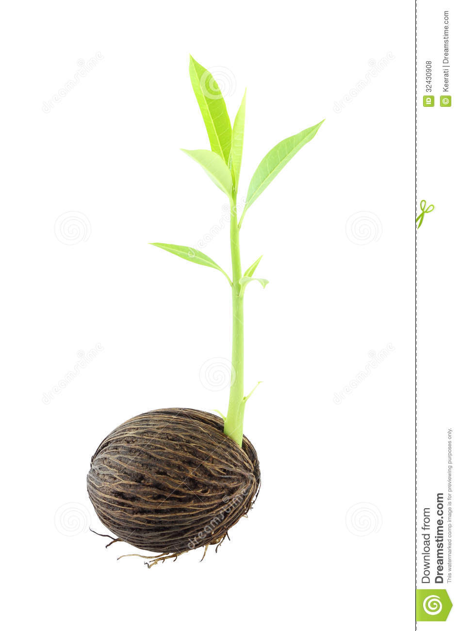Seed Sprout Young Othalanga Sprout Seed #WXhpwp.
