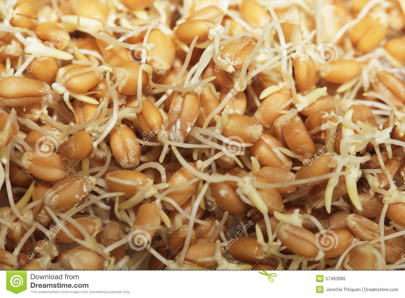 Sprouted Wheat Macro Stock Photo.