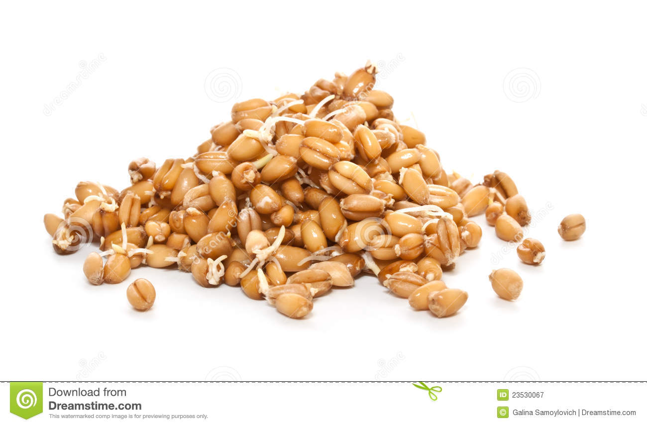 Sprouted Wheat Grain Royalty Free Stock Photography.