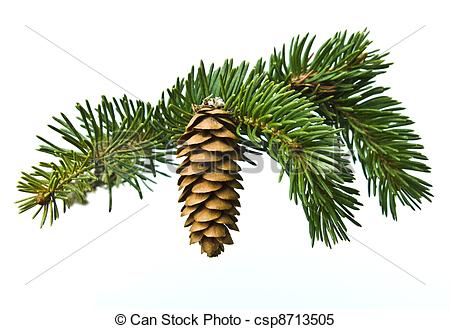 Stock Images of The branch of spruce and cone on white background.