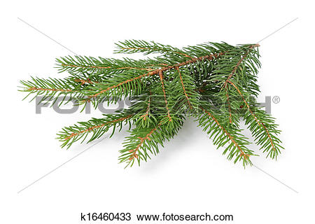 Stock Photo of gree spruce twig k16460433.