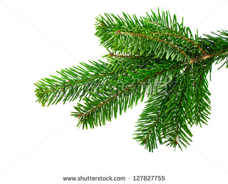 Spruce Branch On White Background Stock Photo 127827755.