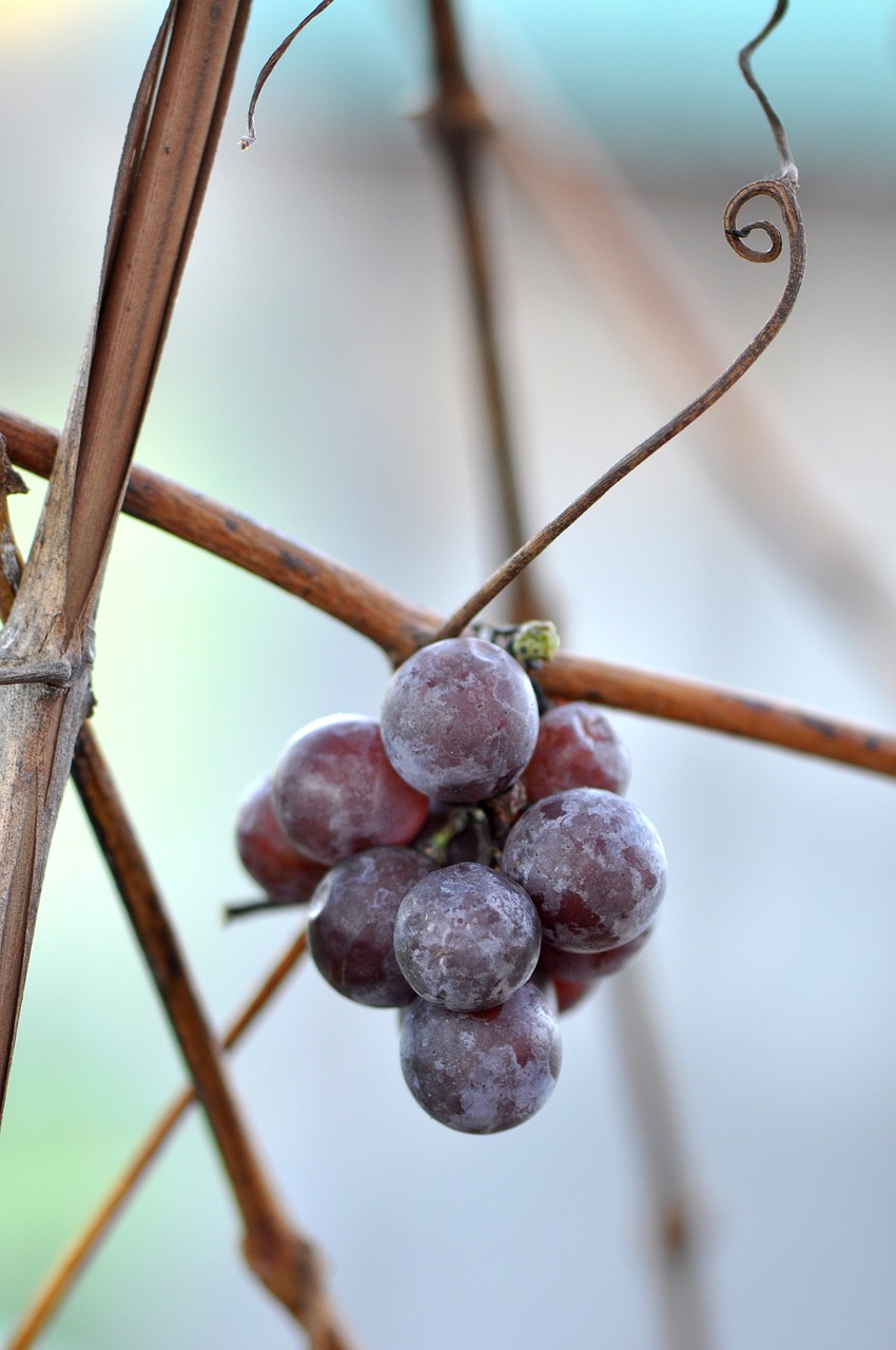 Grapes,cluster,bunch,grapevine,wine.
