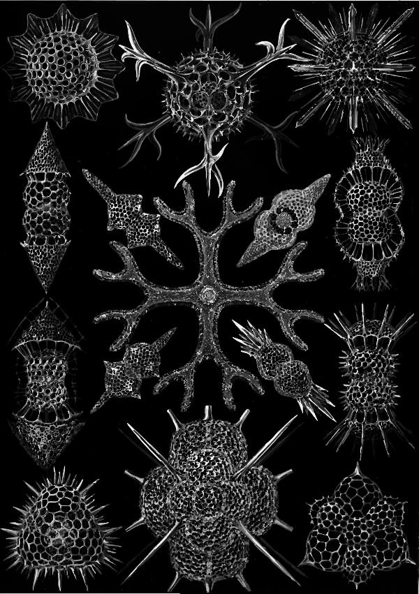 Spumellaria.