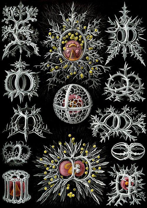 Ernst Haeckel; Art Forms of Nature (1904); Stephoidea, Phaeodaria.