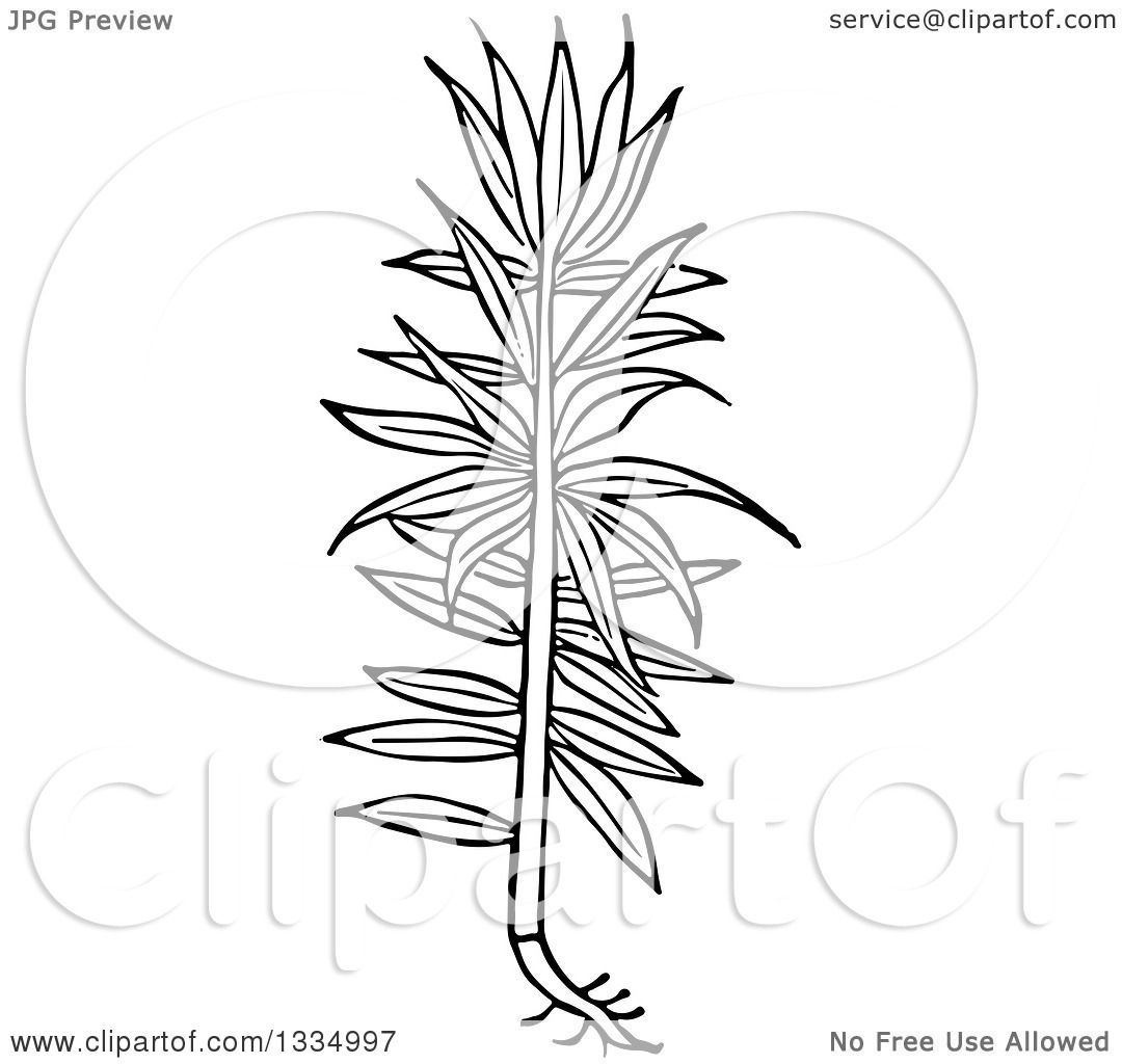 Clipart of a Black and White Woodcut Herbal Medicinal Spurge Plant.