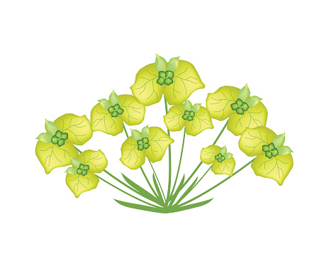 Cypress Spurge Clip Art, Vector Images & Illustrations.