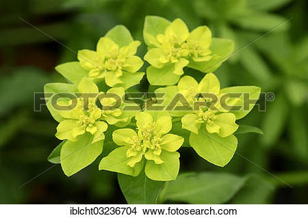 "Stock Photo of ""Wart spurge (Euphorbia verrucosa), Germany, Europe."