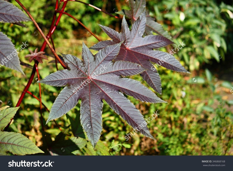 Ricinus Communis Castor Oil Plant Species Stock Photo 346868168.