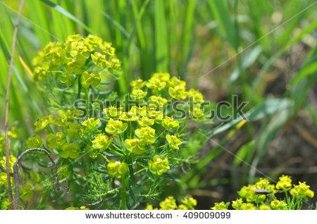 Euphorbiaceae Imágenes pagas y sin cargo, y vectores en stock.