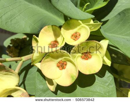 """family Euphorbiaceae"" Stock Photos, Royalty."