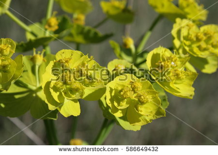 Spurge Stock Images, Royalty.