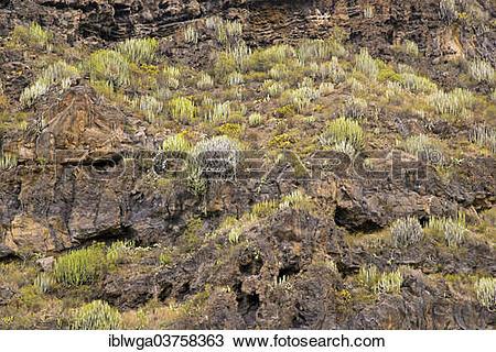 "Stock Photo of ""Euphorbia, spurge family (Euphorbiaceae), Tenerife."