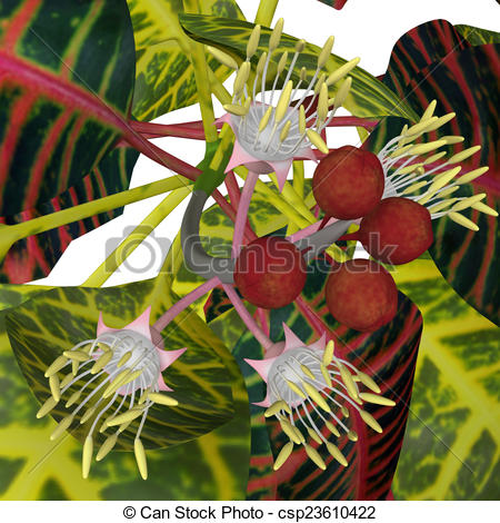 Clip Art of Croton is an extensive flowering plant genus in the.