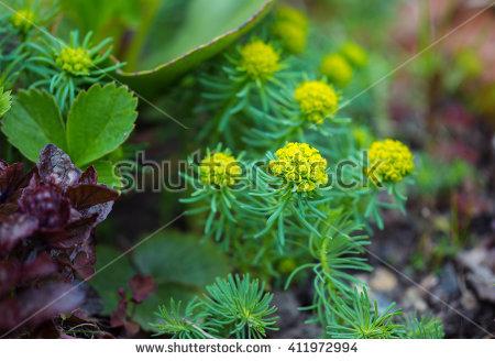 Garden Spurge Stock Photos, Royalty.