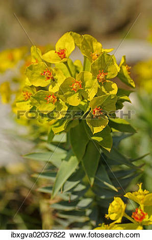 """Stock Photo of """"Gopher Spurge or Upright Myrtle Spurge (Euphorbia."""