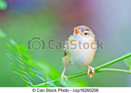 Stock Illustrations of Bird squab learn to fly Common Tailorbird.