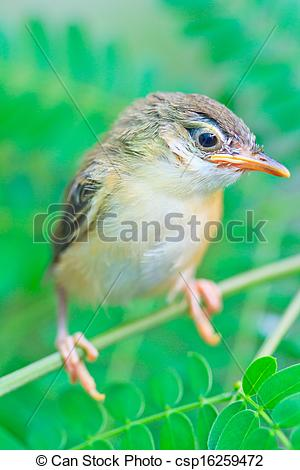Stock Illustrations of Bird squab learn to fly (Common Tailorbird.
