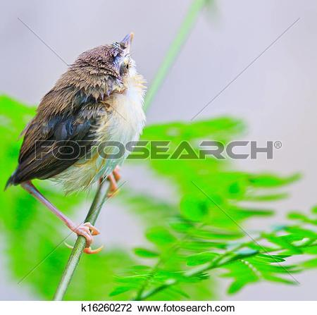 Clip Art of Bird squab learn to fly (Common Tailorbird) asia.