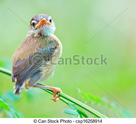 Clipart of Bird squab learn to fly (Common Tailorbird) asia.
