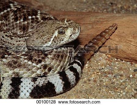 Pictures of Juniors, Ophidia, Reptilia, Serpentes, Squamata.