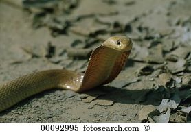 Cape cobra Stock Photo Images. 26 cape cobra royalty free pictures.