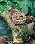 Stock Image of Juniors, Ophidia, Reptilia, Serpentes, Squamata.