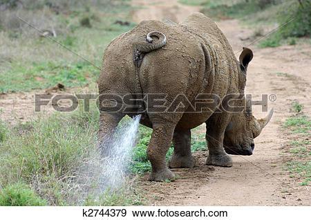 Stock Photograph of White Rhinoceros bull or Square.