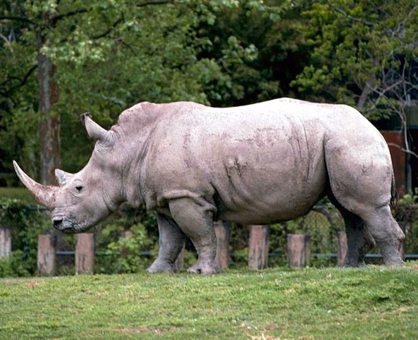 Rhinoceros Pictures and Rhinoceros Facts.