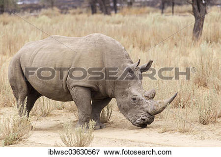 """Picture of """"White Rhinoceros or Square."""