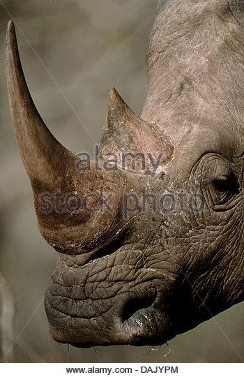 Northern White Rhino Stock Photos & Northern White Rhino Stock.