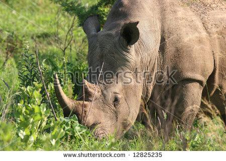 Rhino South Africa Stock Photos, Royalty.