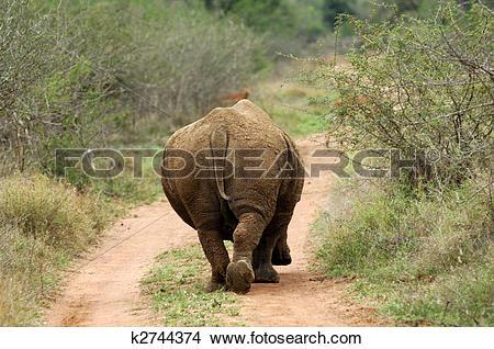 Stock Photo of Bull, White Rhinoceros, Square.