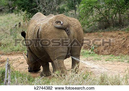 Stock Photo of White Rhinoceros bull or Square.