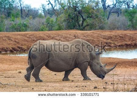 Rhinoceros Stock Photos, Royalty.
